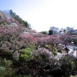 満開の紅梅白梅が楽しめる東京の梅名所、池上梅園