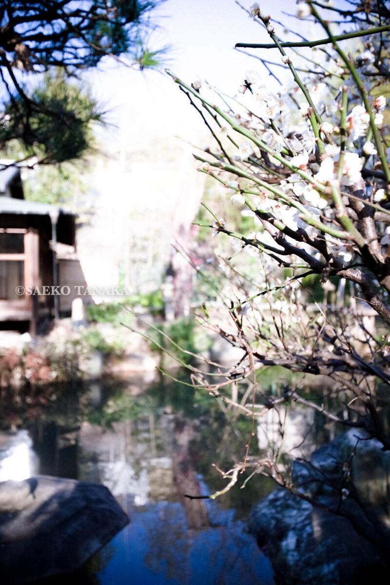 満開の紅梅白梅が楽しめる東京の梅名所、池上梅園の和室(集会室)前の梅
