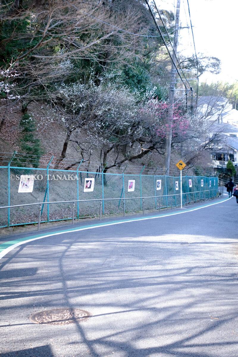 京王線百草園駅から、満開の紅梅白梅が楽しめる東京の梅名所、京王百草園への道中にある百草園通り