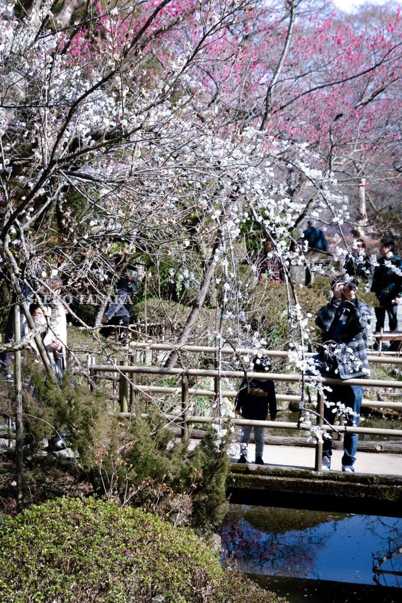 満開の紅梅白梅が楽しめる東京の梅名所、京王百草園