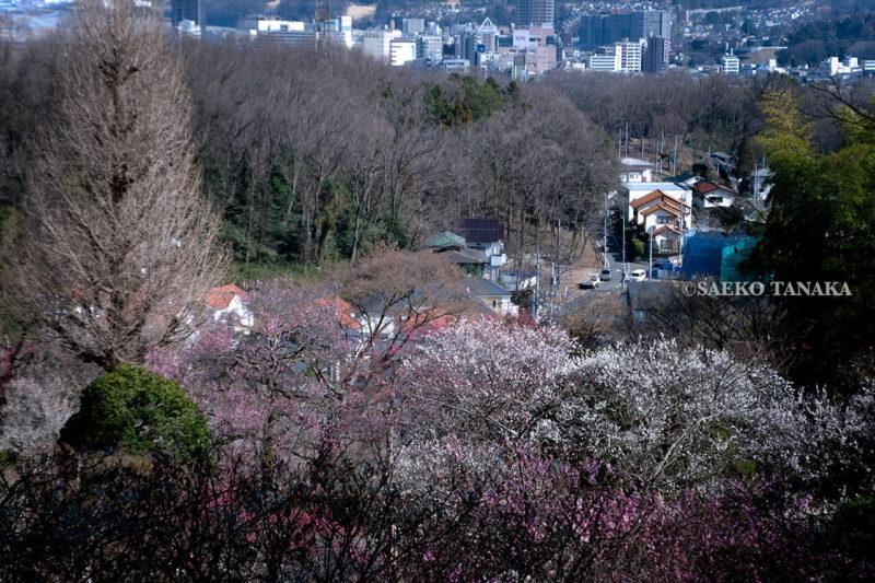 満開の紅梅白梅が楽しめる東京の梅名所、京王百草園の見晴台から眺める梅林