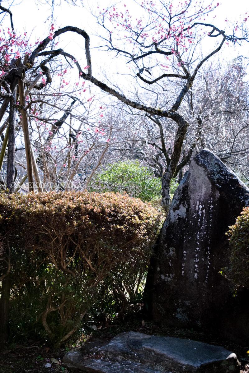 満開の紅梅白梅が楽しめる東京の梅名所、京王百草園にある松尾芭蕉の句碑