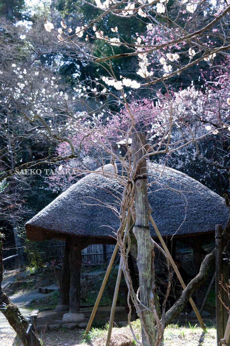 満開の紅梅白梅が楽しめる東京の梅名所、京王百草園にある、あずまや