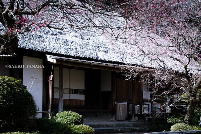 満開の紅梅白梅が楽しめる東京の梅名所、京王百草園にある松連庵(しょうれんあん)