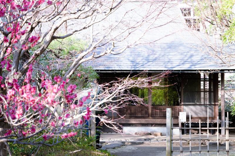 満開の紅梅白梅が楽しめる東京の梅名所、府中市郷土の森博物館の敷地内にある旧田中家住宅に隣接する茶室・梅欅庵