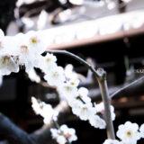 満開の紅梅白梅が楽しめる東京の梅名所、府中市郷土の森博物館の敷地内にある、幕末から明治期の呉服店で府中宿の代表的な大店だった旧田中家住宅の梅