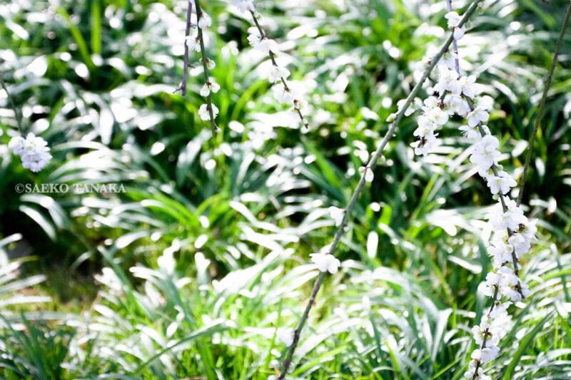 満開の紅梅白梅が楽しめる東京の梅名所、府中市郷土の森博物館の梅園(梅林)の梅