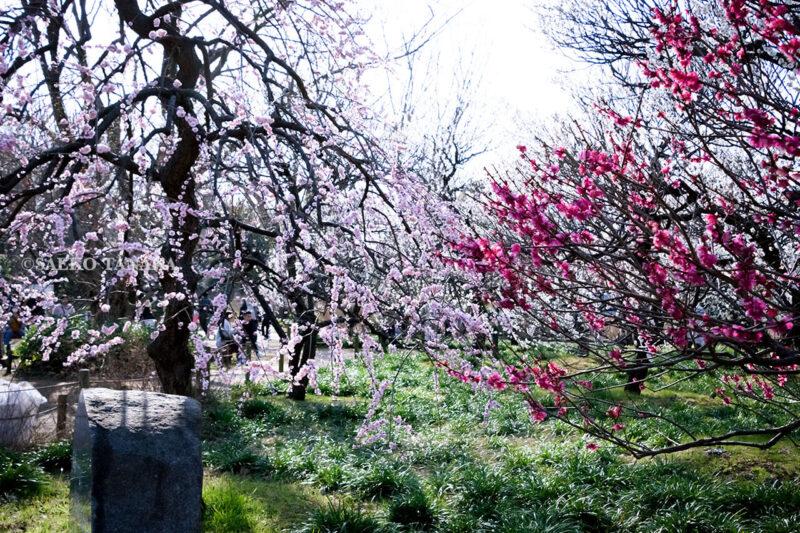 満開の紅梅白梅が楽しめる東京の梅名所、府中市郷土の森博物館の梅園(梅林)