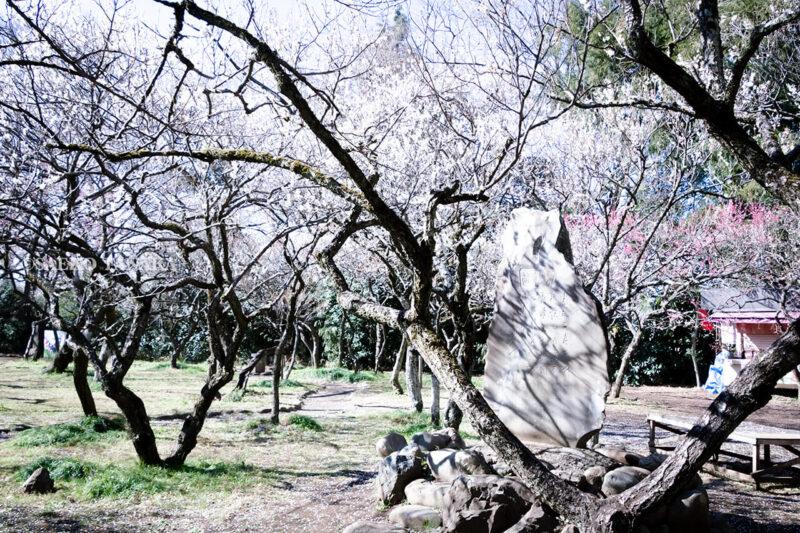 満開の紅梅白梅が楽しめる東京の梅名所、谷保天満宮にある梅林の山口瞳文学碑