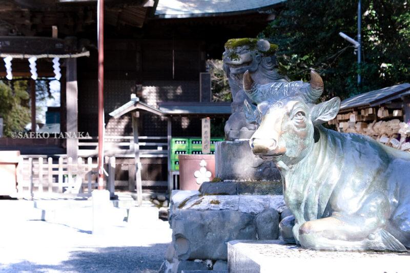 満開の紅梅白梅が楽しめる東京の梅名所、谷保天満宮にある撫で牛と拝殿