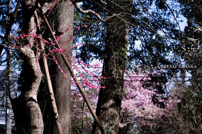 満開の紅梅白梅が楽しめる東京の梅名所、谷保天満宮にある梅