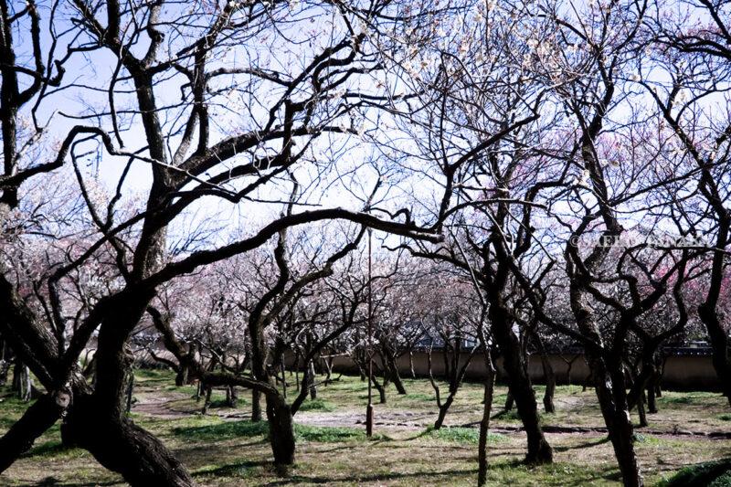 満開の紅梅白梅が楽しめる東京の梅名所、谷保天満宮にある梅林