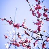 満開の紅梅白梅が楽しめる東京の梅名所、谷保天満宮にある