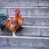 満開の紅梅白梅が楽しめる東京の梅名所、谷保天満宮にある鶏(にわとり・チャボ)
