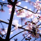 満開の紅梅白梅が楽しめる東京の梅名所、谷保天満宮の最寄り駅・谷保駅の桜