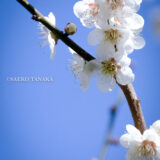 満開の紅梅白梅が楽しめる東京の梅名所、神代植物公園にあるうめ園の梅
