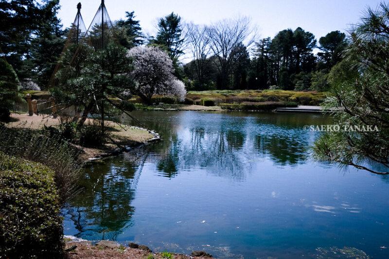 満開の紅梅白梅が楽しめる東京の梅名所、神代植物公園にあるつつじ園付近の池泉