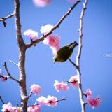 満開の紅梅白梅が楽しめる東京の梅名所、神代植物公園にあるうめ園の梅とうぐいす