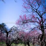 満開の紅梅白梅が楽しめる東京の梅名所、神代植物公園にあるうめ園