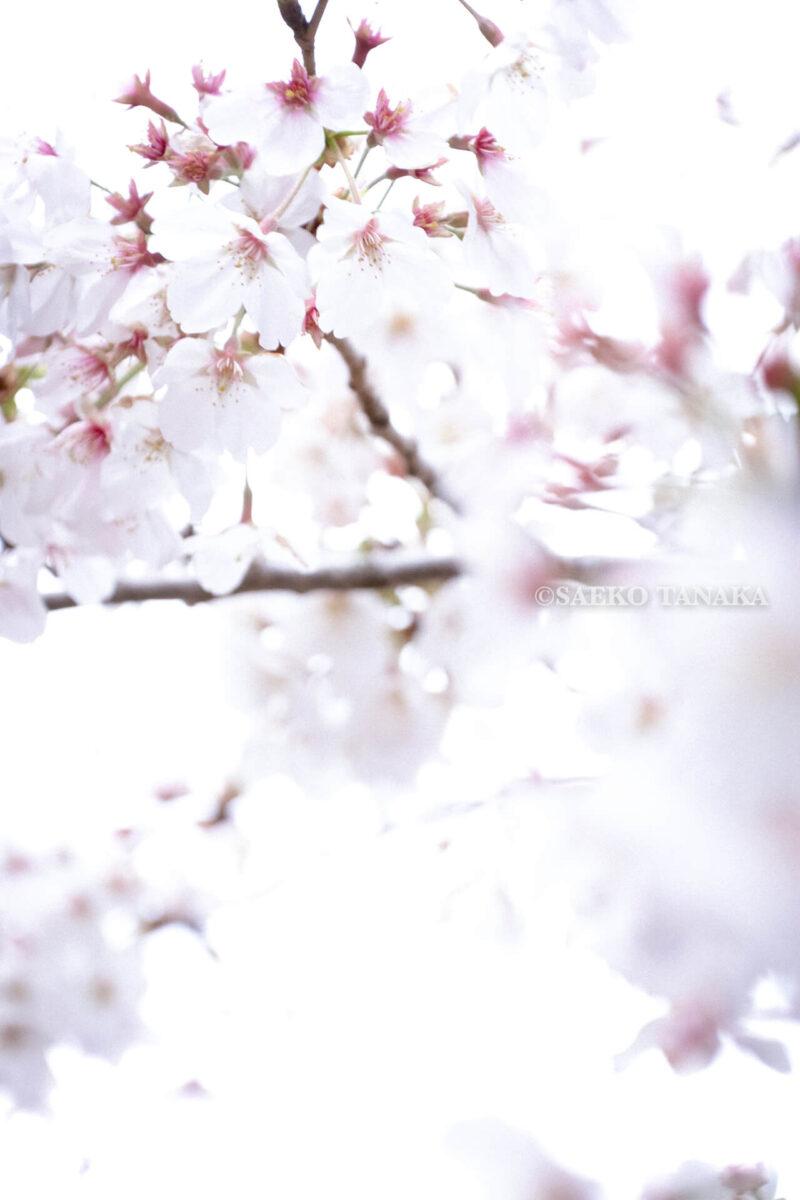 満開のソメイヨシノ・ヤマザクラなどが楽しめる東京の桜名所、千鳥ヶ淵公園の桜