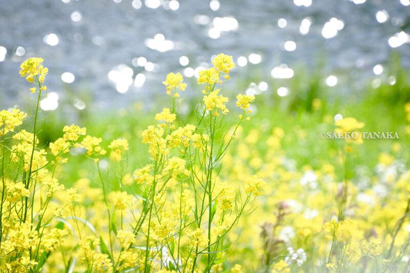 満開のソメイヨシノ・ヤマザクラなどが楽しめる東京の桜名所、千鳥ヶ淵公園の菜の花
