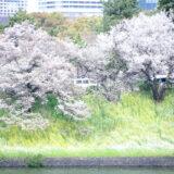 満開のソメイヨシノ・ヤマザクラなどが楽しめる東京の桜名所、千鳥ヶ淵公園の桜と菜の花