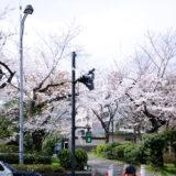 満開のソメイヨシノ・ヤマザクラなどが楽しめる東京の桜名所、千鳥ヶ淵公園前の千鳥ヶ淵交差点