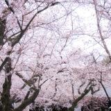 満開のソメイヨシノなどが楽しめる東京の桜名所、靖国神社/靖國神社にある能楽堂前の桜