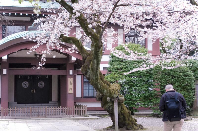 満開のソメイヨシノなどが楽しめる東京の桜名所、靖国神社/靖國神社の斎館・社務所