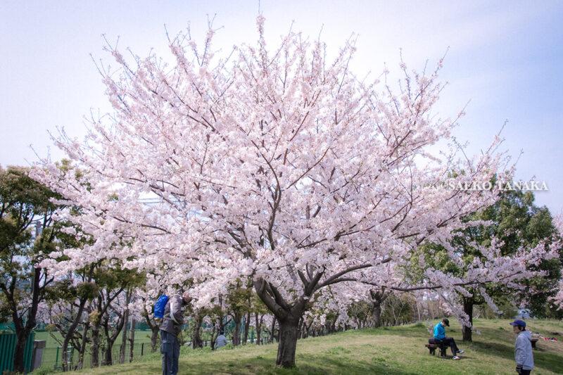 満開のソメイヨシノなどが楽しめる東京の桜名所、大森ふるさとの浜辺公園にある芝生(グリーン)エリアに咲くソメイヨシノの下でお花見を楽しむ老夫婦