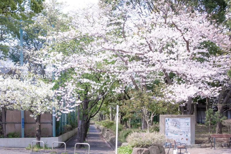 満開のソメイヨシノなどが楽しめる東京の桜名所、大森ふるさとの浜辺公園の出入口とつながる平和の森公園の桜