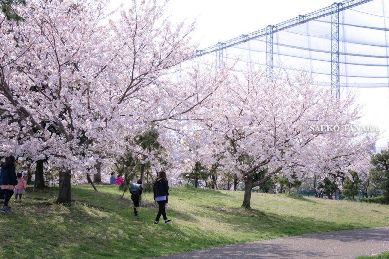 満開のソメイヨシノなどが楽しめる東京の桜名所、大森ふるさとの浜辺公園にある芝生(グリーン)エリアに咲くソメイヨシノと、お花見を楽しむ小学生と花見客