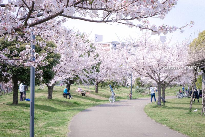 満開のソメイヨシノなどが楽しめる東京の桜名所、大森ふるさとの浜辺公園にある芝生(グリーン)エリアの散策路と桜並木と、写真撮影やお花見を楽しむ花見客