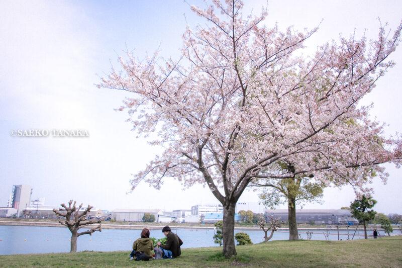 満開のソメイヨシノなどが楽しめる東京の桜名所、大森ふるさとの浜辺公園にある芝生(グリーン)エリアに咲くソメイヨシノの下でお花見ピクニックを楽しむカップルと白砂の浜辺