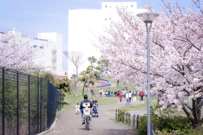 満開のソメイヨシノなどが楽しめる東京の桜名所、大森ふるさとの浜辺公園にある、ふるさとの広場と浜辺橋を結ぶ桜並木と、散策路を走る自転車