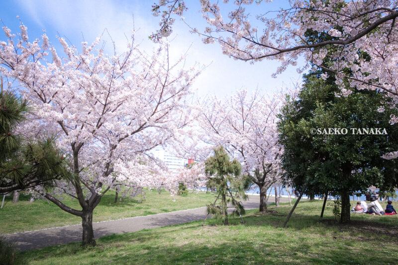 満開のソメイヨシノなどが楽しめる東京の桜名所、大森ふるさとの浜辺公園にある芝生(グリーン)エリアに咲くソメイヨシノとお花見ピクニックを楽しむ家族連れファミリー