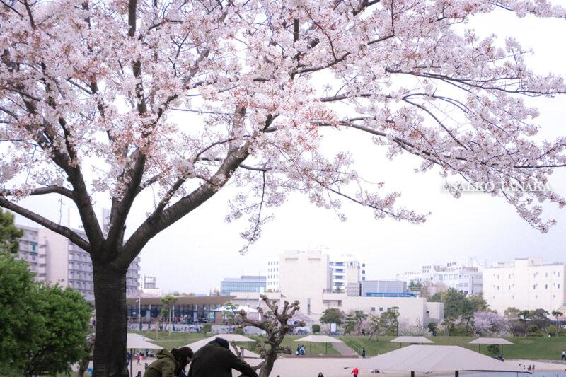 満開のソメイヨシノなどが楽しめる東京の桜名所、大森ふるさとの浜辺公園にある芝生(グリーン)エリアに咲くソメイヨシノの下でお花見ピクニックを楽しむカップルと、白砂の浜辺