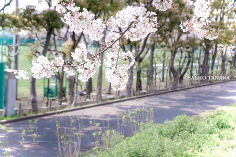満開のソメイヨシノなどが楽しめる東京の桜名所、大森ふるさとの浜辺公園にある芝生(グリーン)エリアに咲くソメイヨシノと散策路
