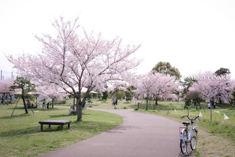 満開のソメイヨシノなどが楽しめる東京の桜名所、大森ふるさとの浜辺公園にある芝生(グリーン)エリアに咲くソメイヨシノと、自転車が置かれた散策路