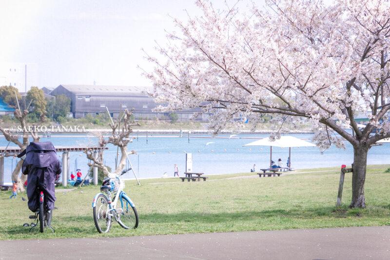 満開のソメイヨシノなどが楽しめる東京の桜名所、大森ふるさとの浜辺公園にある芝生(グリーン)エリアに咲くソメイヨシノと、自転車が置かれた散策路と白砂の浜辺