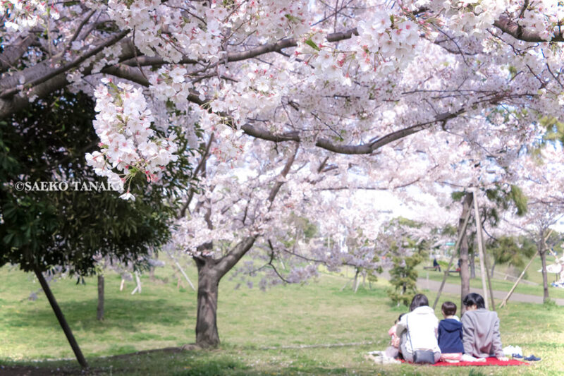 満開のソメイヨシノなどが楽しめる東京の桜名所、大森ふるさとの浜辺公園にある芝生(グリーン)エリアに咲くソメイヨシノと、お花見ピクニックを楽しむ家族連れファミリー