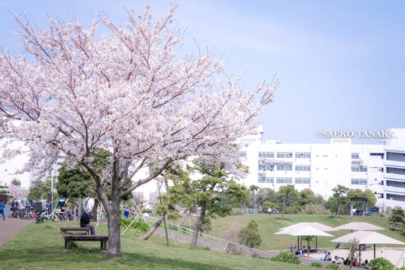 満開のソメイヨシノなどが楽しめる東京の桜名所、大森ふるさとの浜辺公園にあるレストハウス前に咲くソメイヨシノと、白砂の浜辺でお花見ピクニックを楽しむ家族連れファミリー