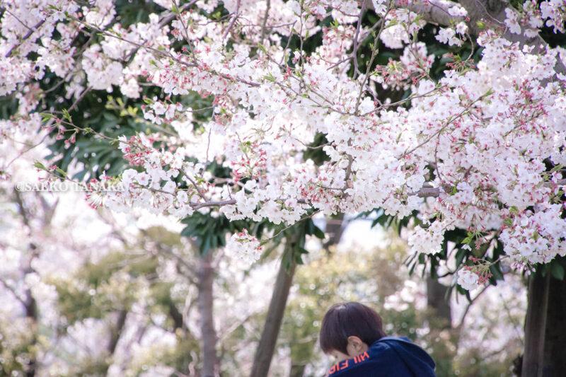 満開のソメイヨシノなどが楽しめる東京の桜名所、大森ふるさとの浜辺公園にある芝生(グリーン)エリアに咲くソメイヨシノと小学生の男の子