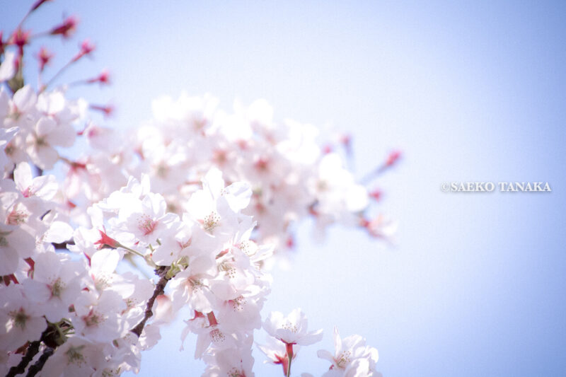 満開のソメイヨシノなどが楽しめる東京の桜名所、大森ふるさとの浜辺公園にある芝生(グリーン)エリアに咲くソメイヨシノ
