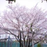 満開のソメイヨシノなどが楽しめる東京の桜名所、大森ふるさとの浜辺公園に隣接する、東京ガス 大森グラウンドに咲くソメイヨシノ