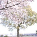 満開のソメイヨシノなどが楽しめる東京の桜名所、大森ふるさとの浜辺公園にある芝生(グリーン)エリアに咲くソメイヨシノと白砂の浜辺