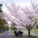 満開のソメイヨシノなどが楽しめる東京の桜名所、大森ふるさとの浜辺公園にある芝生(グリーン)エリアに咲くソメイヨシノと、散策路に隣接する駐輪場に置かれた自転車