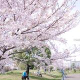 満開のソメイヨシノなどが楽しめる東京の桜名所、大森ふるさとの浜辺公園にある芝生(グリーン)エリアに咲くソメイヨシノと、読書・写真撮影・お花見を楽しむ花見客