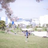 満開のソメイヨシノなどが楽しめる東京の桜名所、大森ふるさとの浜辺公園にある芝生(グリーン)エリアに咲くソメイヨシノと、キャッチボールを楽しむ小学生の男の子、白砂の浜辺でお花見ピクニックを楽しむ家族連れファミリー