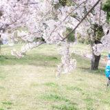 満開のソメイヨシノなどが楽しめる東京の桜名所、大森ふるさとの浜辺公園にある芝生(グリーン)エリアに咲くソメイヨシノと、読書を楽しむ花見客